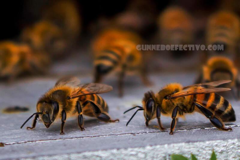 พิษจากผึ้ง ถูกพบว่าสามารถทำลายเซลล์มะเร็งเต้านมที่ลุกลามได้ในห้องแล็บ พิษและสารประกอบที่เรียกว่าเมลิทตินถูกนำมาใช้กับมะเร็งสองชนิด